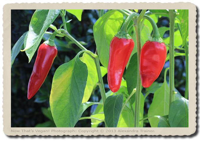 Red chili peppers growing in the garden.