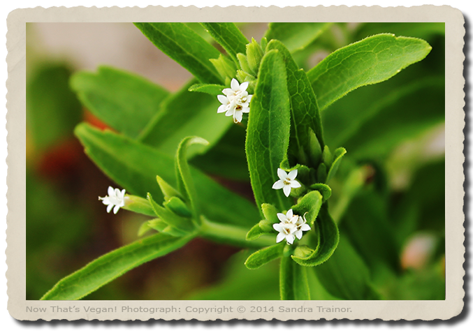 Stevia is a non-glycemic and calorie-free sweetener, comes from the leaves of a stevia plant.